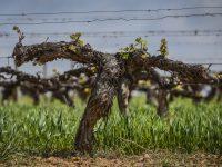 Familia Torres apuesta por la viticultura regenerativa para combatir el cambio climático