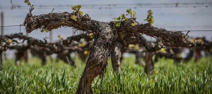 Familia Torres, viticultura regenerativa para combatir el cambio climático