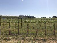 Modificación de poda y riego en el cultivo de la vid cv Syrah