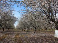 La producción de almendra se mantiene estable a largo plazo a pesar del riego deficitario