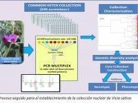 Analizan la diversidad genética de variedades de veza común