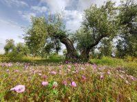 Olivares vivos, un modelo de olivicultura para conciliar agricultura y biodiversidad