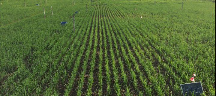 Riego por aspersión y compost de alperujo para mejorar la calidad de los suelos destinados al cultivo del arroz