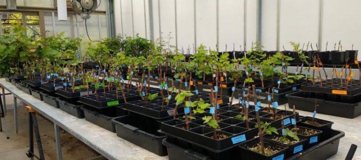 Aprovechan los recursos genéticos de la vid para hacer frente a los principales retos de la viticultura