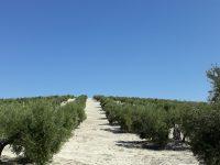 Diversificando el olivar en el marco del proyecto europeo Diverfarming