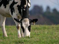 La selección genética y la alimentación pueden reducir las emisiones de metano del vacuno lechero en un 20%