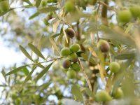 Investigan nuevos bioestimulantes y nuevas tecnologías para aumentar la resistencia del olivo