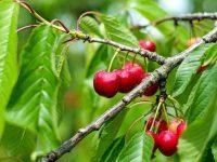 Realizan muestreos para controlar plagas en cerezos de Extremadura y Aragón