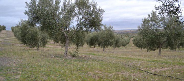 El suelo del olivar, un gran aliado frente al cambio climático