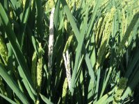 Brandt InVigo, bioestimulante – antiestrés que disminuye la fitotoxicidad por salinidad en los arrozales