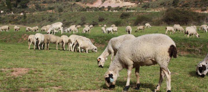 Identificada una variante génica en tres razas autóctonas de Teruel asociadas a la prolificidad