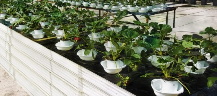 La contaminación por Salmonella a través de la raíz de la fresa no constituye un factor de riesgo alimentario