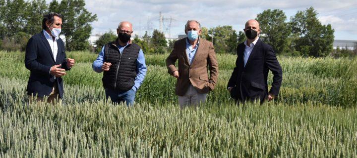 El Itacyl realiza una comparativa entre diferentes variedades de trigo para ver la evolución de su mejora genética