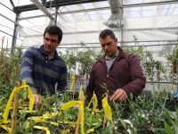 El injerto de olivos para combatir la verticilosis no pasa la prueba en campo
