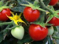 Descubren un nuevo mecanismo para controlar la maduración del tomate