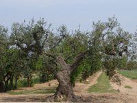 Identifican trece nuevas variedades locales de olivo en Lleida