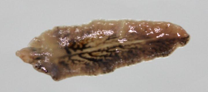 Estudian los mecanismos de infección de la Fasciola, uno de los parásitos que más pérdidas genera a la ganadería