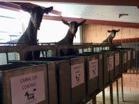 Residuos de cítricos y arroz convertidos en pienso para cabras