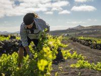 El Grifo trabaja para la reconversión de su singular viñedo a ecológico