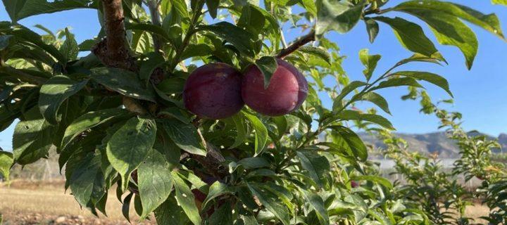 Adaptación varietal y orientaciones productivas de los frutales de hueso ante el cambio climático