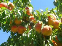 Idoneidad de las variedades de frutales de hueso a cultivar ante el cambio climático