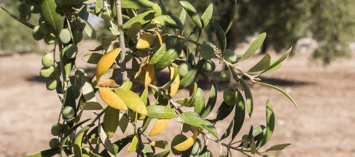 Nueva estrategia integrada para el control de enfermedades del olivo