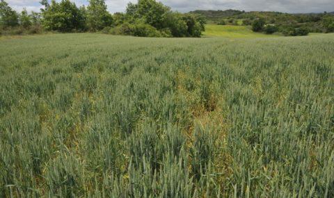 Consideraciones fitosanitarias en cereales de invierno en Castilla y León