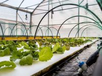 Cultivan salicornia y lechugas en tanques con peces mediante la aquaponia
