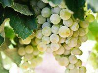 Inteligencia artificial para conseguir una gestión sostenible de las viñas